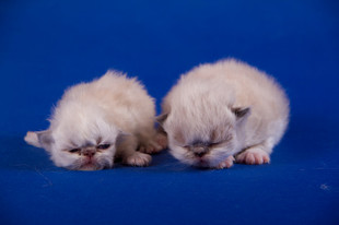 kittens from cattery White Sail